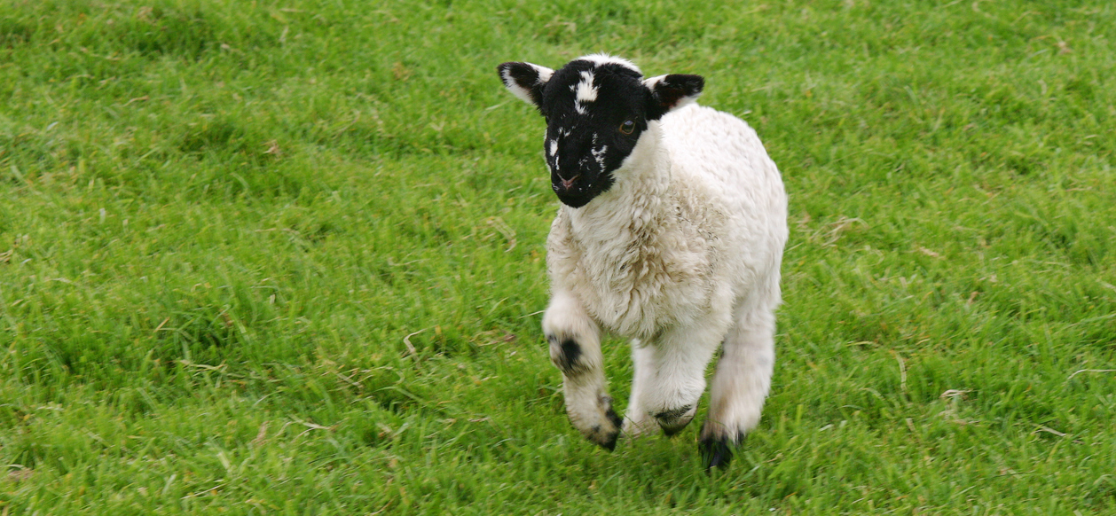 http://deisevets.ie/wp-content/uploads/2012/03/Black-faced-lamb-cropped.jpg